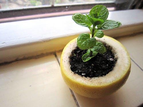 Grow seedlings in a lemon peel instead of pot