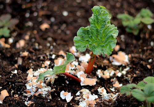 Sprinkle Eggshells Around Your Plants
