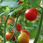 Easy Steps to Growing High Yield Tomatoes