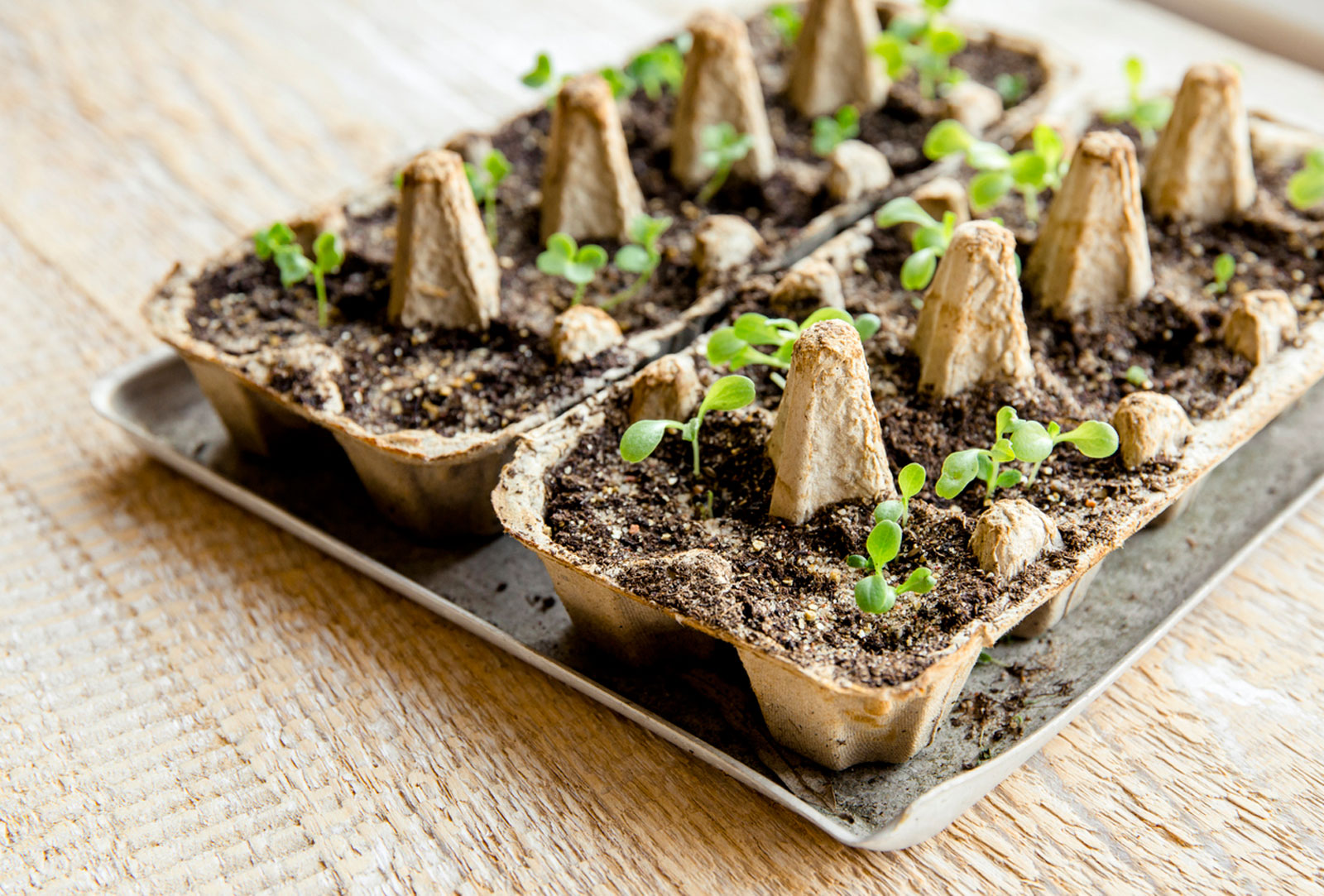 Starting Seeds in Egg Cartons