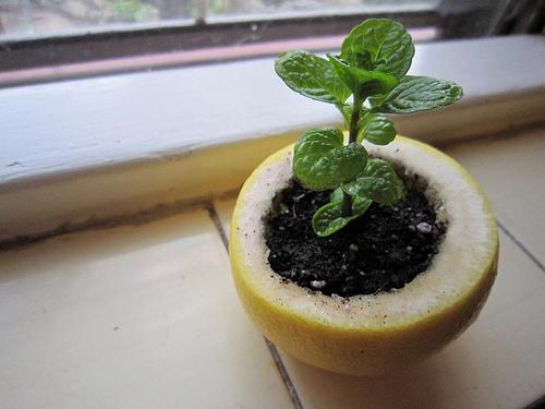 Citrus Peel Seed Starters